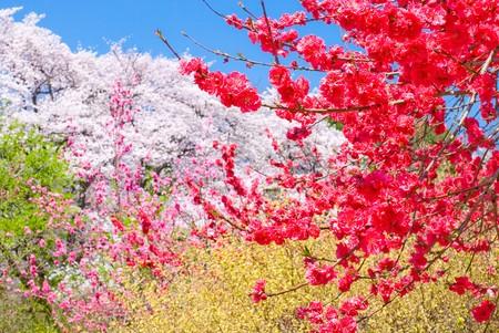 桃の花と春の花の色 写真素材