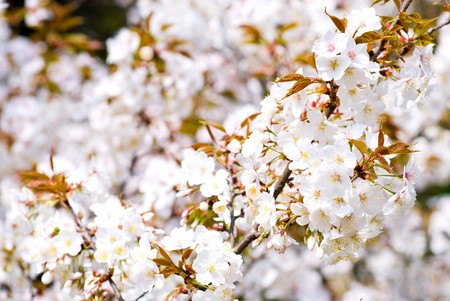 Full bloom flowers of the Wild Cherry blossoms Stock Photo - 8013018
