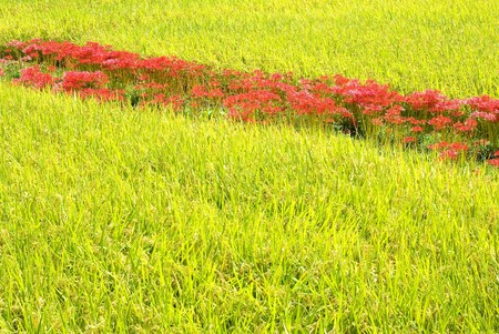 Cluster amaryllis in the rice field photo