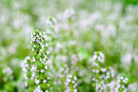 mentha: Thyme flowers in the field