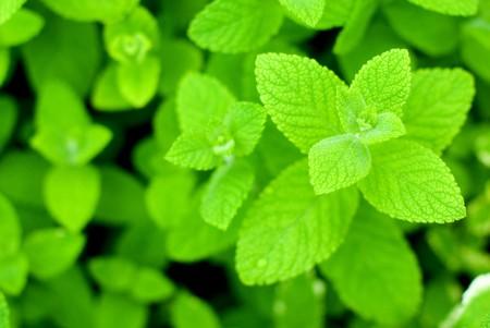 mentha: Fresh green Apple mint leaves Stock Photo