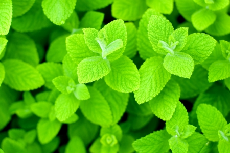 Fresh green Apple mint leaves photo