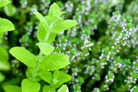 Fresh green Apple mint leaves in the Thyme flowers photo