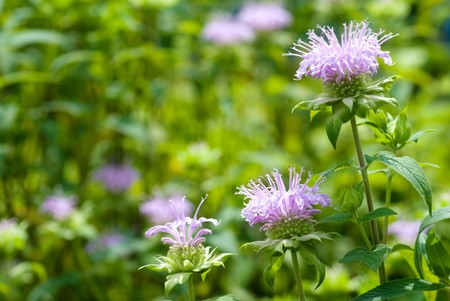 Bergamot mint flowers in the field photo