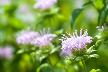 mentha: Bergamot mint flowers in the field