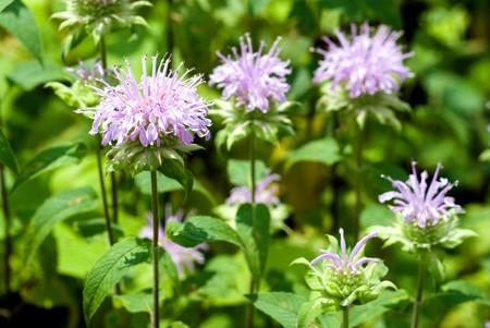 Bergamot mint flowers in the field