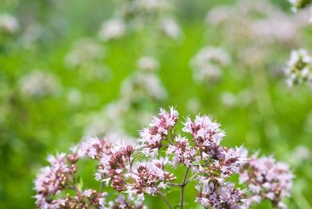 mentha: Oregano flowers in the field