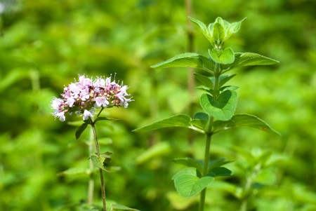 mentha: Oregano leaves and flowers in the field