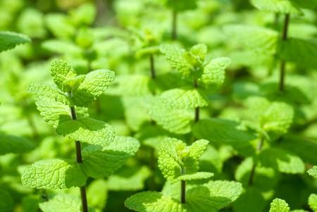 Fresh green Spearmint leaves in the field