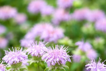 field mint: Bergamot mint flowers in the field
