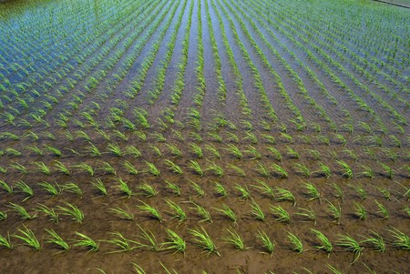 irrigated: Paddy and the rice seedlings