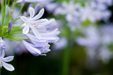 꽃이 만발하는 Arican Lily의 꽃