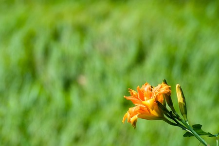 Double dayLily flowers in the green field Stock Photo - 8190835