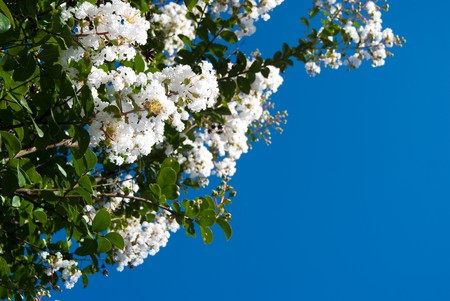 crape myrtle flower and the blue sky photo