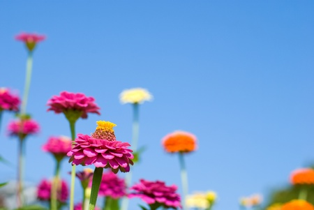 Colorful zinnia flowers in the sky photo