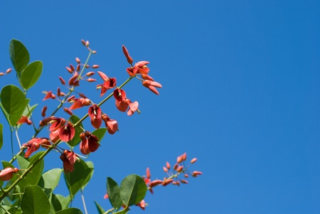 erythrina: Erythrina crista-galli flowers in the sky