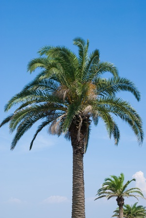 canariensis: Phoenix canariensis tree in the sky