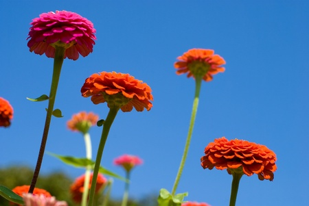 Zinnia flowers in the sky photo