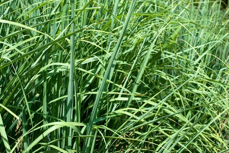 coolness: Popular herb of the Lemongrass