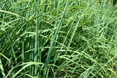Popular herb of the Lemongrass