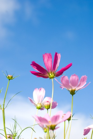 Cosmos flowers in the blue sky photo