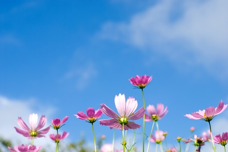 Cosmos flowers in the blue sky