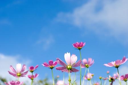massif de fleurs: Fleurs de Cosmos dans le ciel bleu Banque d'images