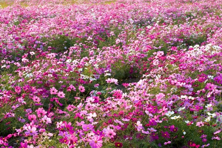 cosmos flower: Pink color of cosmos flower fields
