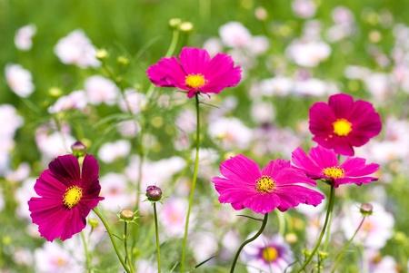 コスモスの花のフィールドのピンクの色