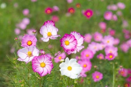 コスモスの花のフィールドの 2 つの色 写真素材