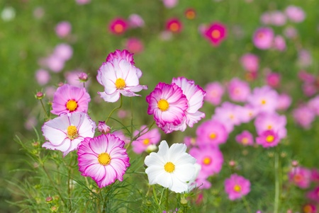 Two color of cosmos flower fields