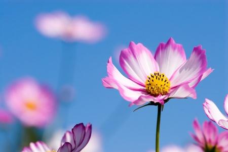 푸른 하늘에 핑크 코스모스