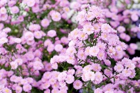 aster: Flower garden of perennial aster in full blossom