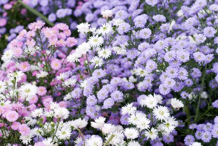 perennial: Flower garden of perennial aster in full blossom