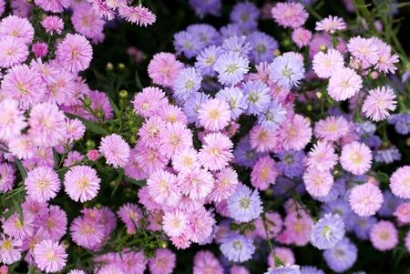 Flower garden of perennial aster in full blossom