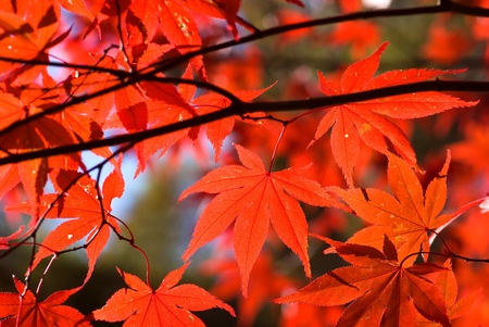 Turning red of the japanese maple leaves Stock Photo