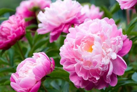 핑크 작약 꽃의가 까이 서
