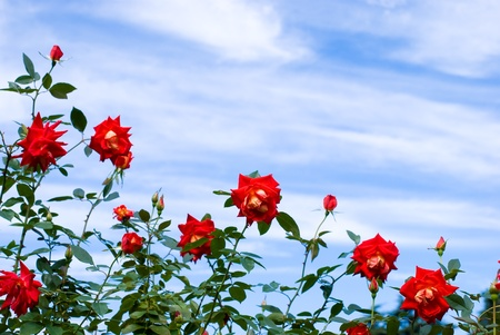 Rose flower in the blue sky photo