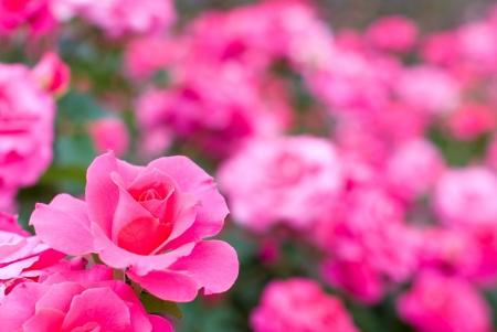 ピンクのバラの花のフィールド