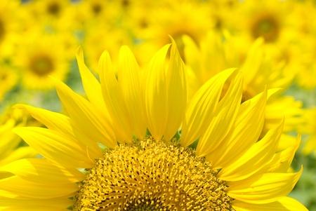 Sunflower in full bloom all over