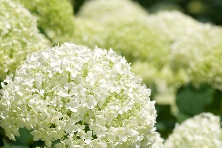 flowerbeds: Annabelle hydrangeas flower in full bloom