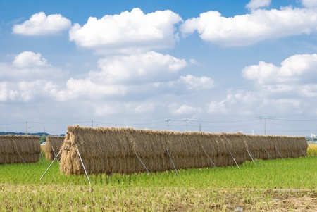 Rice-plant drying rack and autumn sky from Kanagawa in Japan Stock Photo - 9023332
