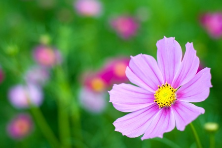 Cosmos flower in the green fields