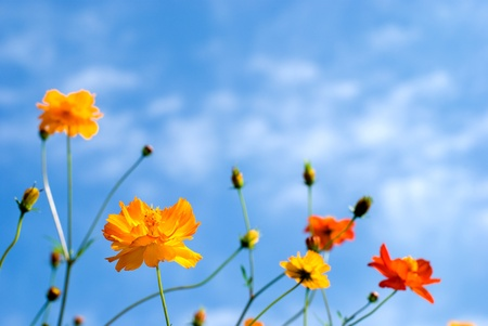 flowering field: Yellow cosmos in the blue sky Stock Photo