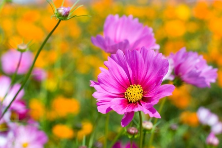 flower field: Pink cosmos in the flower fields Stock Photo