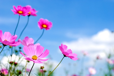 Pink cosmos in the blue sky photo