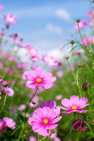 campo de flores: Cielo y campo de cosmos Rosa
