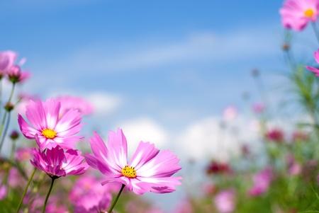 Pola różowe kosmos i niebo