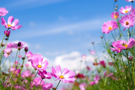 Pink cosmos field and sky Stock Photo - 9023419