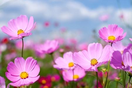 핑크 코스모스 필드와 하늘 스톡 콘텐츠